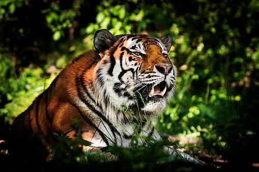 虎「タイガー - 狩猟の準備」:スマホ壁紙(13)