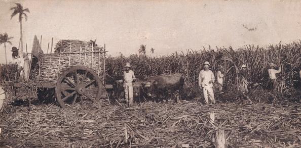 Sugar Cane「Corte De Canna. - Gathering Sugarcane. Cuba, C1900.」:写真・画像(16)[壁紙.com]