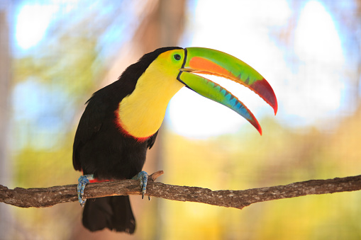 Central America「Keel-billed toucan at a rehabilitation center and forest preserve on Mango Key」:スマホ壁紙(6)
