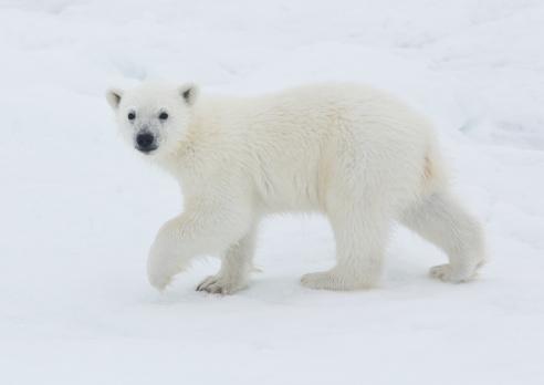 Bear Cub「Young Polar Bear Cub on pack ice of Norway」:スマホ壁紙(18)