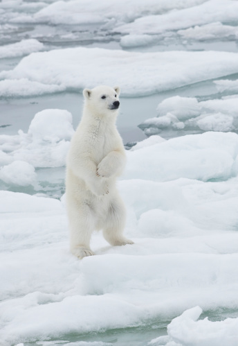 Pack Ice「Young Polar Bear Cub on pack ice of Norway」:スマホ壁紙(9)
