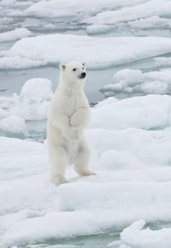 Polar Bear「Young Polar Bear Cub on pack ice of Norway」:スマホ壁紙(11)