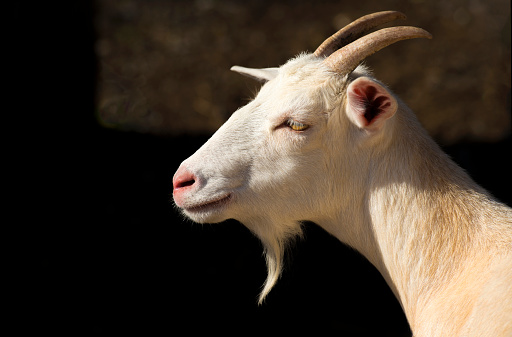 Goatee「Profile of a sun-lit Goat head and neck with goatee and horns.」:スマホ壁紙(3)