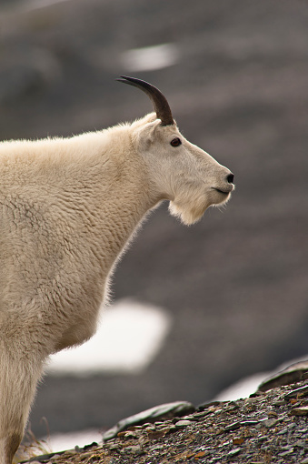 Exit Glacier「Profile Of A Young Mountain Goat Billy Grazing On Plants Near The Harding Icefield Trail At Exit Glacier In Kenai Fjords National Park In Southcentral Alaska, Summer」:スマホ壁紙(12)
