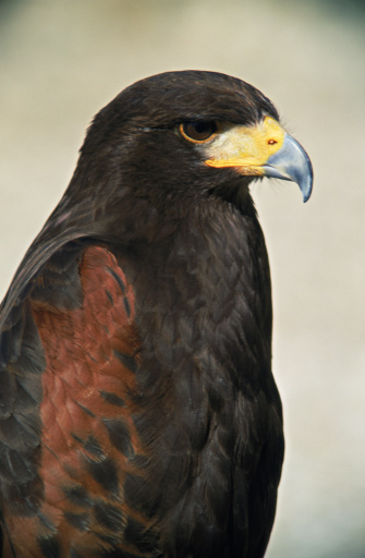 Harris Hawk「Profile of Harris's hawk」:スマホ壁紙(10)