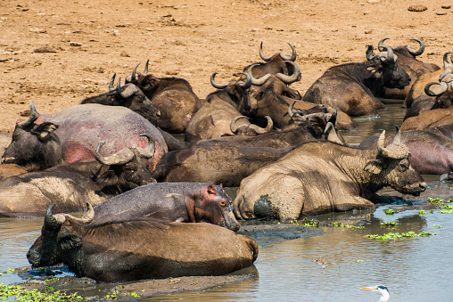 Queen Elizabeth National Park「Africa, Uganda, Cape buffaloes, Syncerus caffer, Queen Elizabeth National Park」:スマホ壁紙(6)