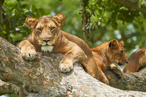 Queen Elizabeth National Park「Africa, Uganda, Fort Portal, Elizabeth National Park, lions lying on a tree」:スマホ壁紙(2)