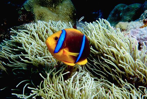 Clownfish「Orange-Fin Anemonefish」:スマホ壁紙(16)