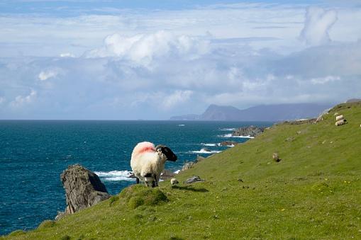アキル島「A Sheep With A Red Marking On It'S Back Grazing On The Atlantic Drive On Achill Island; County Mayo, Ireland」:スマホ壁紙(11)