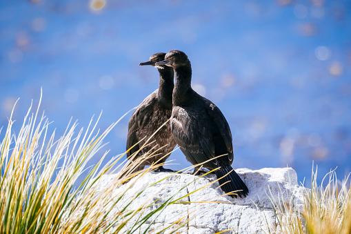 Falkland Islands「Rock shag chicks, Gypsy Cove」:スマホ壁紙(11)