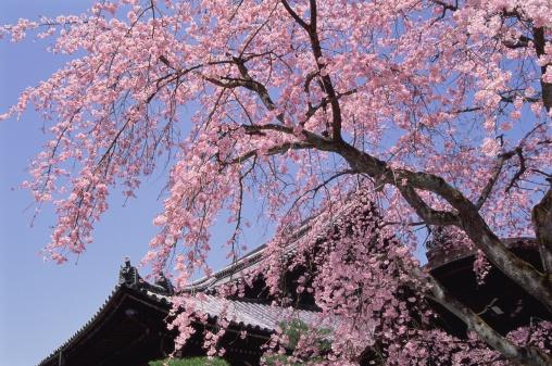 梅の花「Chion-in Temple, Kyoto Prefecture, Japan」:スマホ壁紙(2)