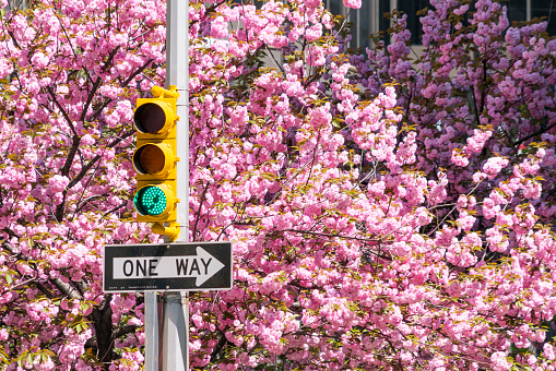 flower「Traffic signal at front of full-blossomed rows of cherry blossom trees at Park Avenue in Manhattan New York City.」:スマホ壁紙(6)