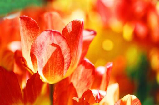 チューリップ「Field of tulips, close-up」:スマホ壁紙(11)