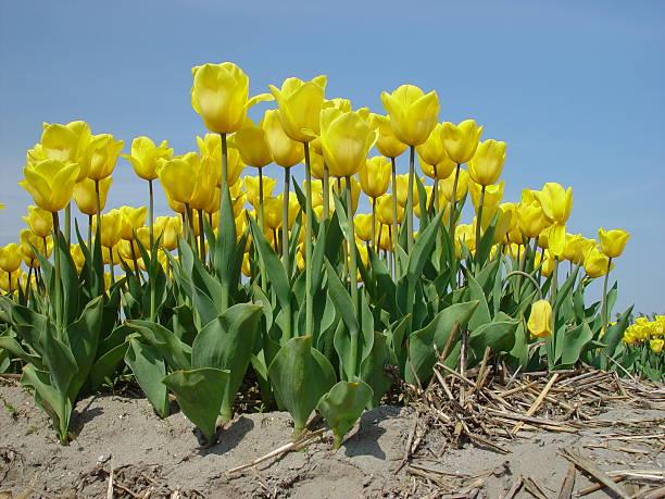 Field of tulips:スマホ壁紙(壁紙.com)