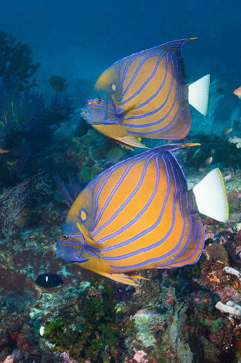 Arafura Sea「Pair of Blue-ringed Angelfish, Indonesia」:スマホ壁紙(19)