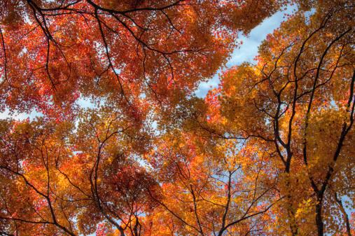 秋+京都「Fall colored maple trees」:スマホ壁紙(6)
