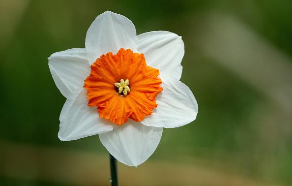 スイセン「Daffodil Walk Opens For Charity」:写真・画像(12)[壁紙.com]
