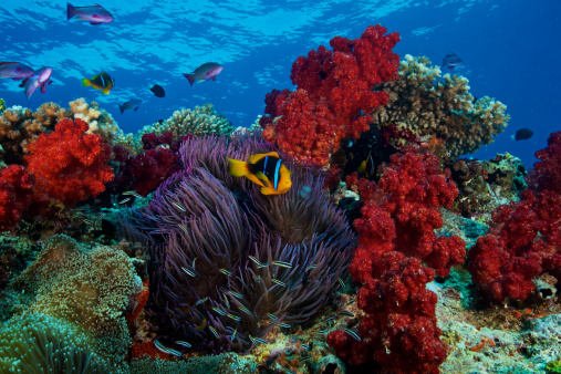 Soft Coral「Orange-finned clownfish and soft corals on colorful reef, Fiji.」:スマホ壁紙(2)