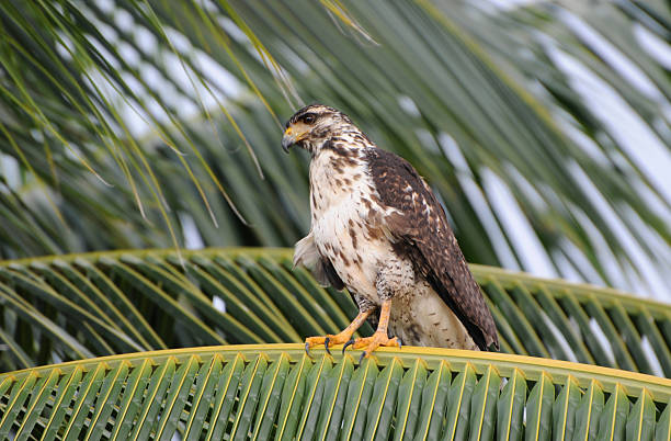 Juvenile black hawk, Buteogallus anthracinus, perched in coconut palm. Granito de Oro, Parque Nacional Coiba, Panama. UNESCO World Heritage Site.:スマホ壁紙(壁紙.com)