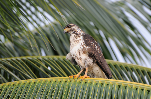 Hawk - Bird「Juvenile black hawk, Buteogallus anthracinus, perched in coconut palm. Granito de Oro, Parque Nacional Coiba, Panama. UNESCO World Heritage Site.」:スマホ壁紙(1)