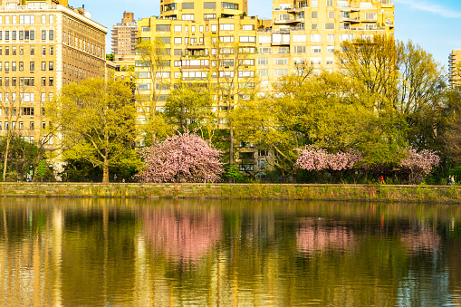 Cherry Tree「Architectures of Central Park East District reflect to Central Park Reservoir in New York. Cherry blossoms trees and fresh green leaves are growing in springtime.」:スマホ壁紙(6)