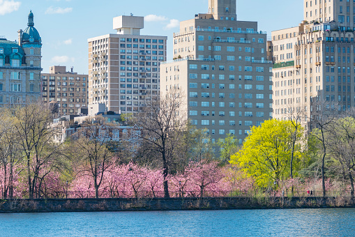 Cherry Tree「Architectures of Central Park West Historic District behind the rows of Cherry blossoms trees and fresh green trees at the Central Park Reservoir at New York.」:スマホ壁紙(16)