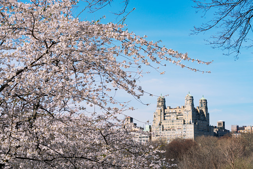 Cherry Tree「Architectures of Central Park West Historic District behind the Cherry blossoms from Central Park New York.」:スマホ壁紙(11)