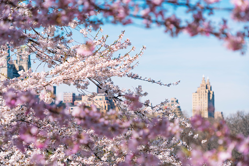 Cherry Tree「Architectures of Central Park West Historic District through the Cherry blossoms from Central Park New York.」:スマホ壁紙(14)