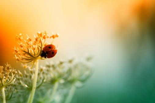Ladybug「Ladybug sitting on top of wildflower during sunset」:スマホ壁紙(16)