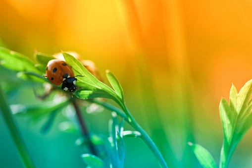 Ladybug「Ladybug sitting on top of wildflower during sunset」:スマホ壁紙(11)