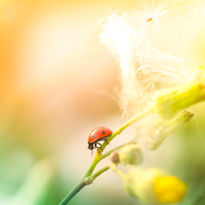 Crawling「Ladybug sitting on top of wildflower during sunset」:スマホ壁紙(5)