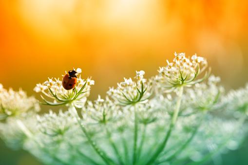 Beetle「Ladybug sitting on top of wildflower during sunset」:スマホ壁紙(6)