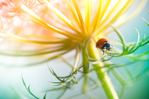 Beetle「Ladybug sitting on top of wildflower during sunset」:スマホ壁紙(16)
