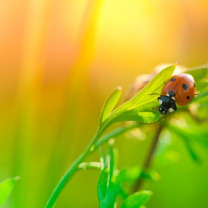 Ladybug「Ladybug sitting on wildflower leaf during sunrise」:スマホ壁紙(9)