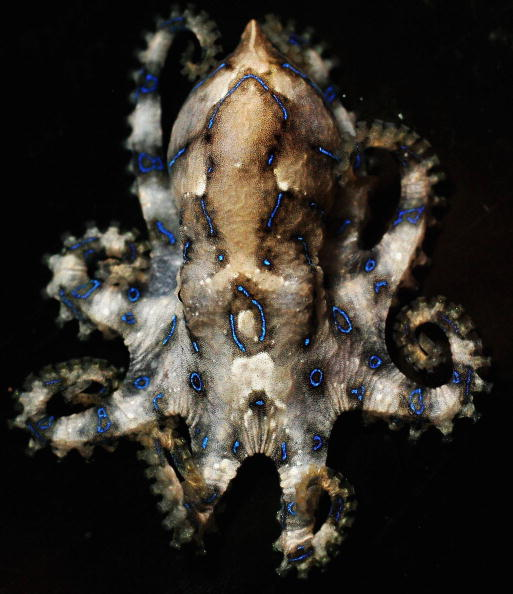 Octopus「Australia's Deadliest Animals」:写真・画像(13)[壁紙.com]