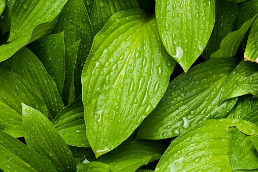 雨「グリーン leafs 、雨滴」:スマホ壁紙(16)