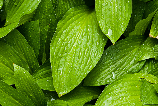 Organic「Green leafs with water drops」:スマホ壁紙(11)