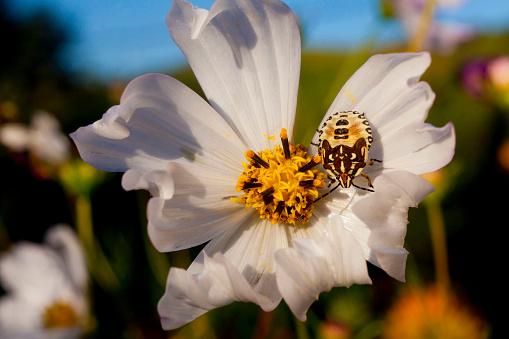 コスモス「French Beetle on a White Cosmo」:スマホ壁紙(10)