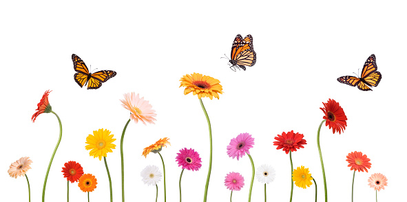 Fly - Insect「Colroful Spring Gerbera Daisies and Monarch Butterflies Isolated on White」:スマホ壁紙(12)