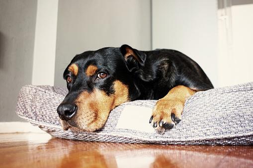 Mixed-Breed Dog「Dog lying on dog bed」:スマホ壁紙(6)