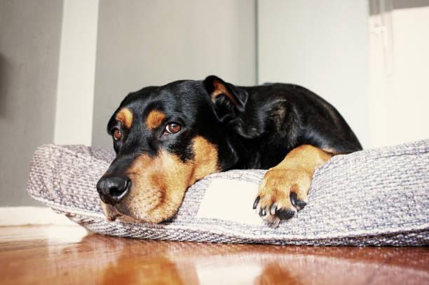 Dog lying on dog bed:スマホ壁紙(壁紙.com)
