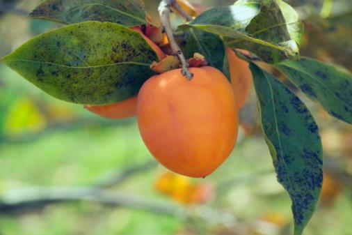 柿「Persimmon on tree」:スマホ壁紙(17)