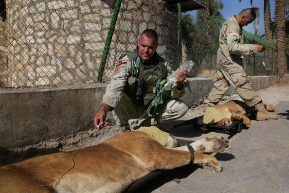 動物「Uday Hussein's Lions Moved To Baghdad Zoo」:写真・画像(4)[壁紙.com]