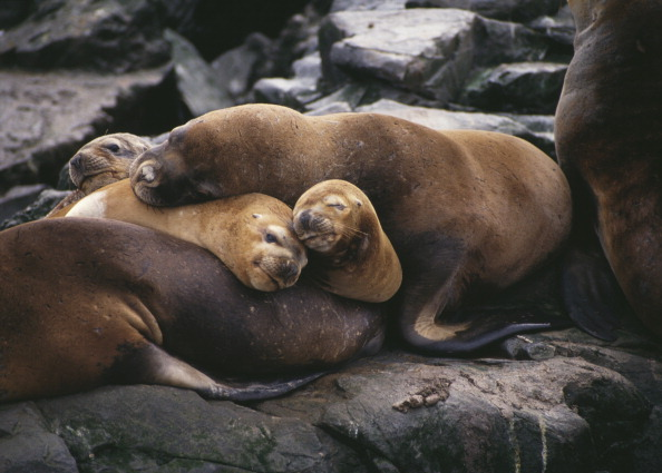 動物「Sea Lions」:写真・画像(3)[壁紙.com]