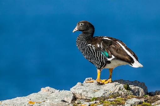 Falkland Islands「kelp goose (Chloephaga hybrida)」:スマホ壁紙(1)