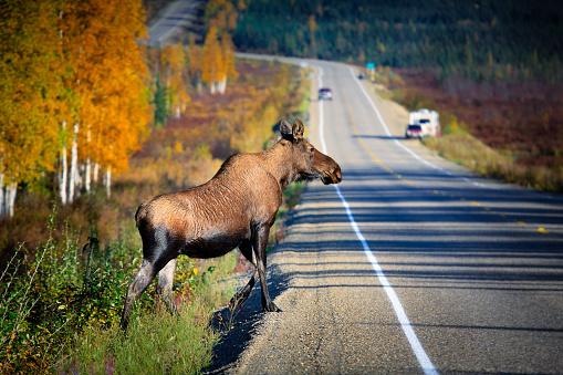 Animals Hunting「Wildlife crossing the highway」:スマホ壁紙(2)