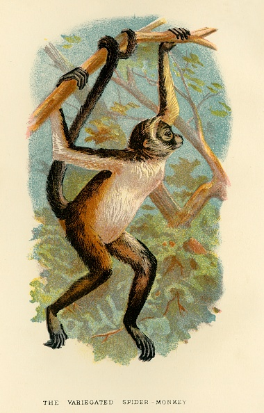 Animal Body Part「The Variegated Spider-Monkey」:写真・画像(13)[壁紙.com]