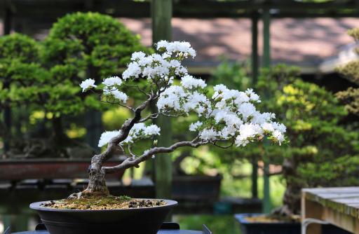 Cherry Blossoms「Bonsai cherry tree」:スマホ壁紙(5)