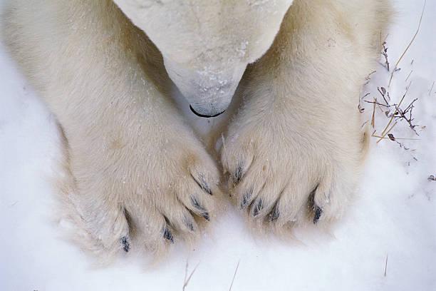 Detail of polar bear paws and nose. Ursus maritimus. Churchill, Hudson Bay, Manitoba, Canada, North America.:スマホ壁紙(壁紙.com)