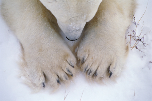 Polar Bear「Detail of polar bear paws and nose. Ursus maritimus. Churchill, Hudson Bay, Manitoba, Canada, North America.」:スマホ壁紙(15)